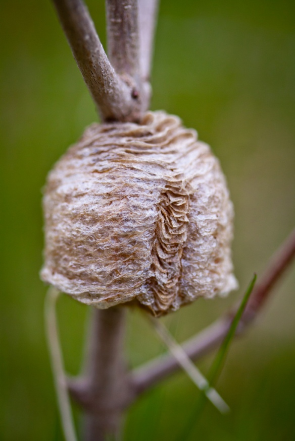 Praying Mantis Eggs Where do insect...