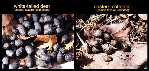 deer-vs-rabbit-scat-PhilMyers