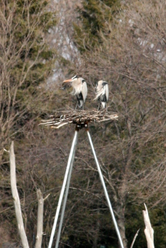 artificial nesting platforms at Almond Marsh