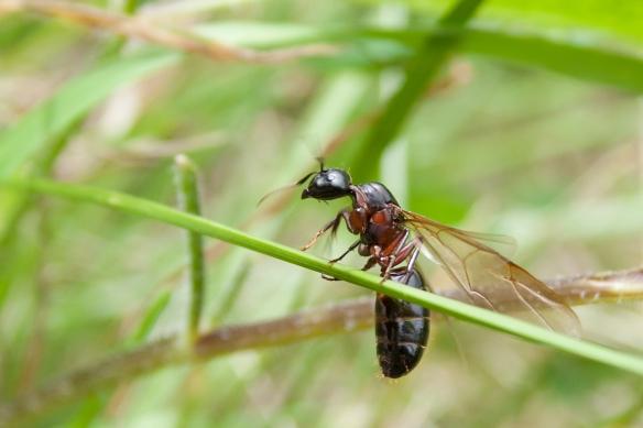 iStock-ant-winged
