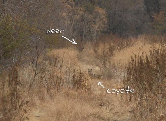 coyote-deer-A