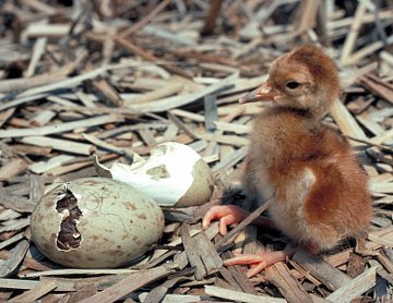 Sandhill crane chick. Photo courtesy of International Crane Foundation.