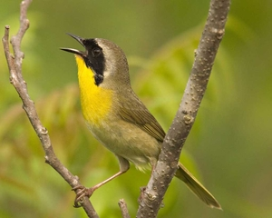 Common_Yellowthroat_l07-40-063_l_1