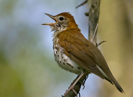 wood_thrush_glamor