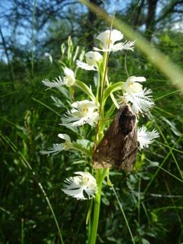 orchidandmoth