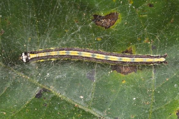 poisonivy caterpillar