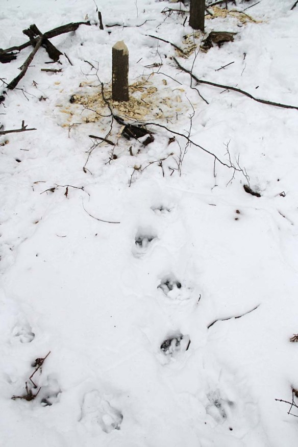 beaver-tracks-in-snow-img_3255