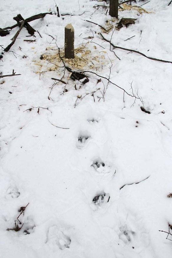 beaver-tracks-in-snow-img_3255