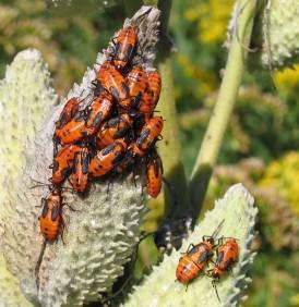 milkweed bug larvae on milkweed