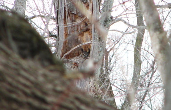 great horned owl in snag at Ryerson Conservation Area