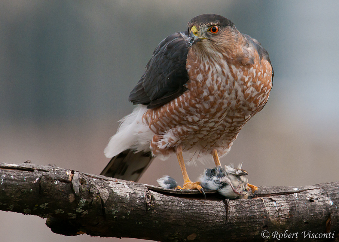 Cooper's hawk eating bird