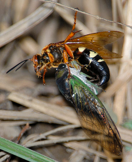 In midair, a cicada killer wasp catches her prey. Photo © Mark Dreiling 2008.