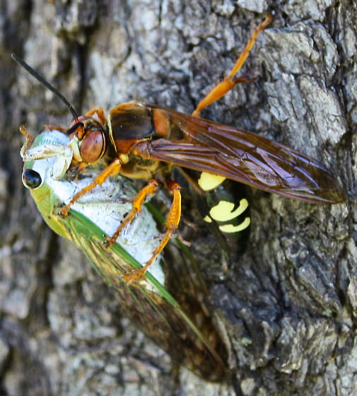 A cicada killer wasp drags a cicada up a tree for the return flight to her burrow. Photo © Shannon Weis 2010.