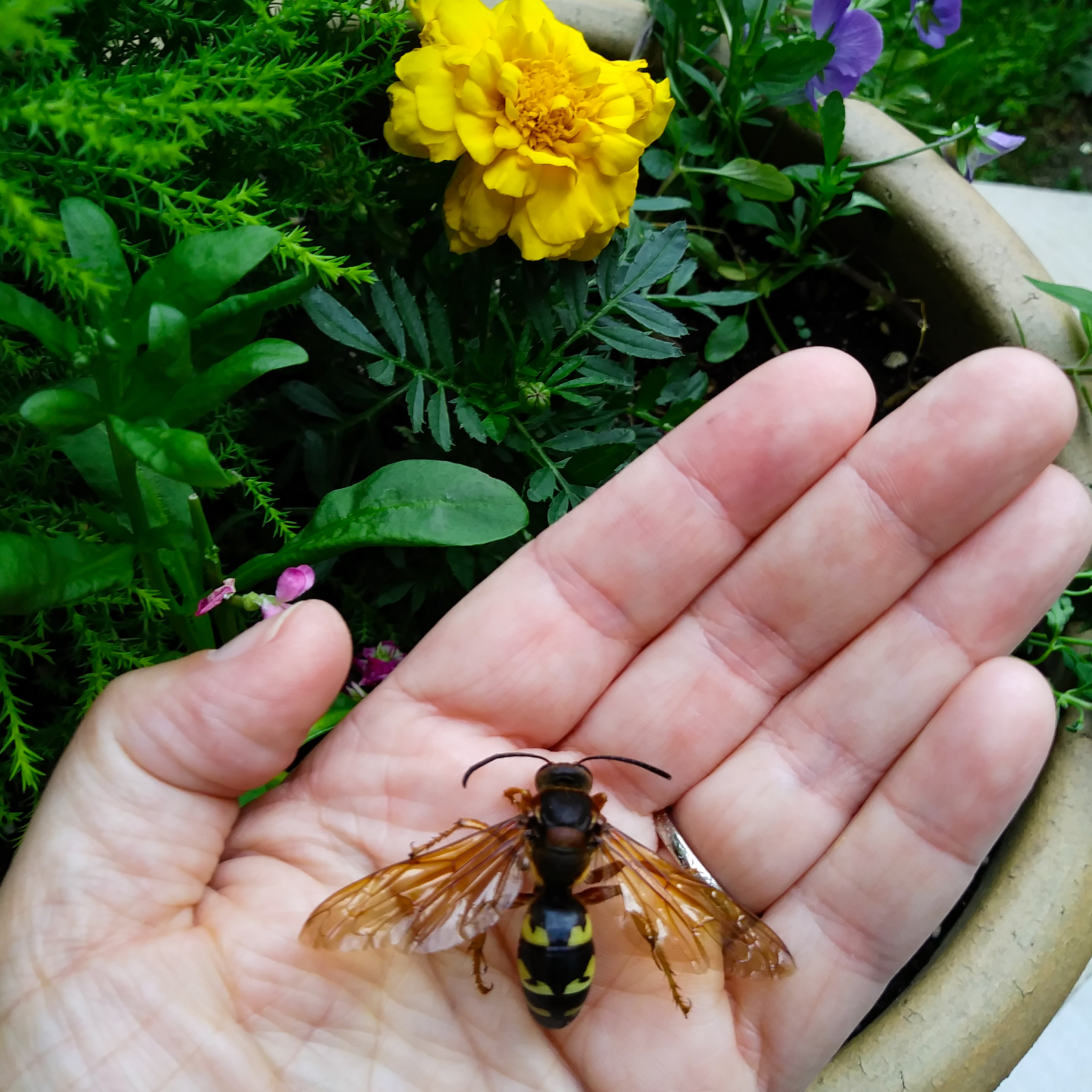 The author holds a dead cicada killer wasp in her palm. Photo © Lake County Forest Preserves.