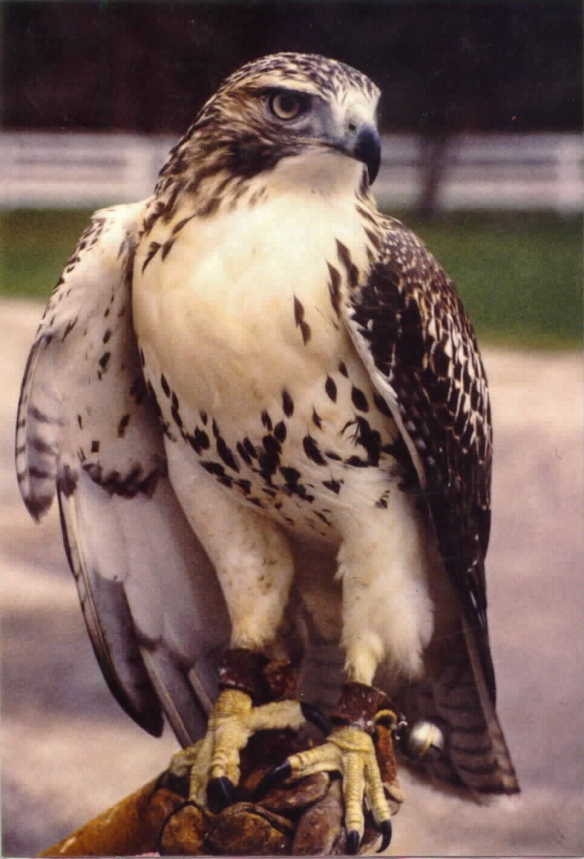The hawk started serving as an educational ambassador soon after arriving at Ryerson Woods (Riverwoods) in 1989. Photo © Lake County Forest Preserves.