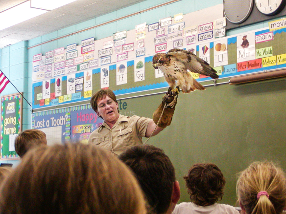 The hawk has participated in countless school programs throughout her long life. Photo © Lake County Forest Preserves.