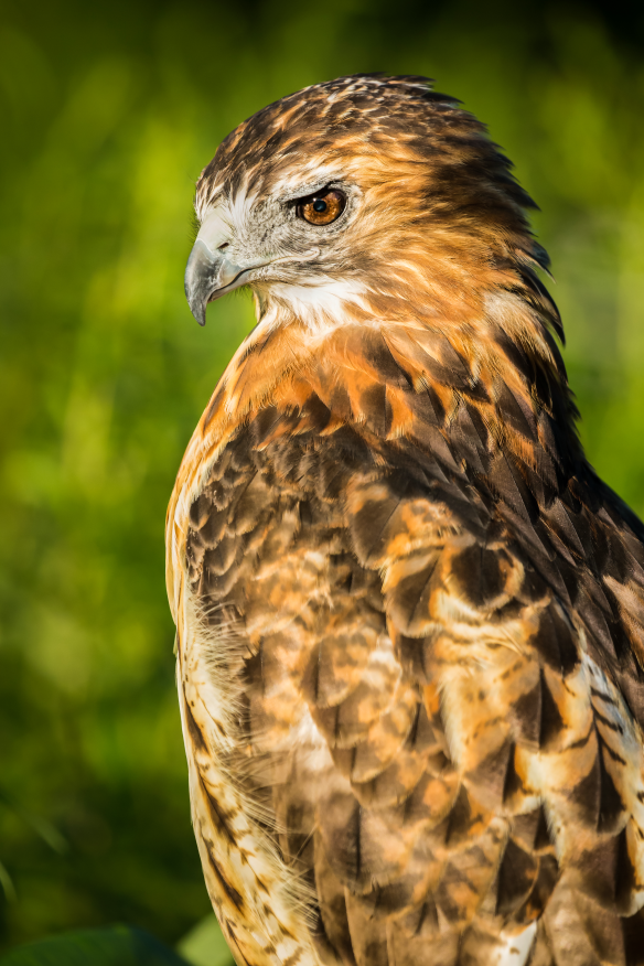 Visit Ryerson Welcome Center (Riverwoods) to see the hawk in her mews. Photo © Jeff Goldberg.