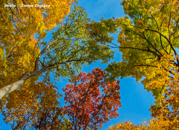 Looking skyward at the crowns of color in Ryerson Conservation Area (Riverwoods). Photo © Emma England.