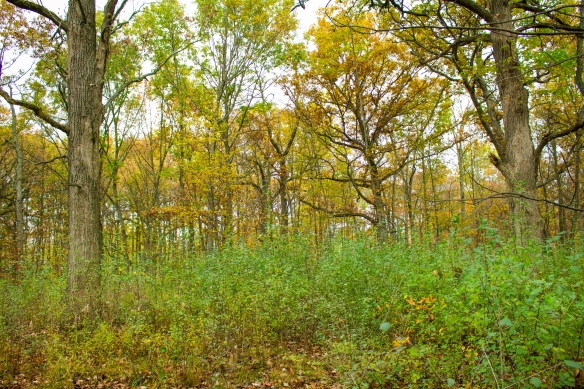 Buckthorn keeps its leaves longer in the fall than most of the native plants surrounding it. Photo © Lake County Forest Preserves.