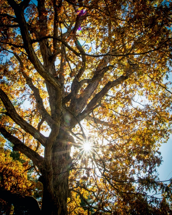 Take time to appreciate the majesty of an oak in its fall fashion. Photo © Thomas James Caldwell.