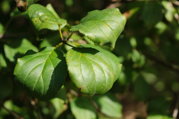 Buckthorn leaves grow in a subopposite pattern. Photo © Lake County Forest Preserves.