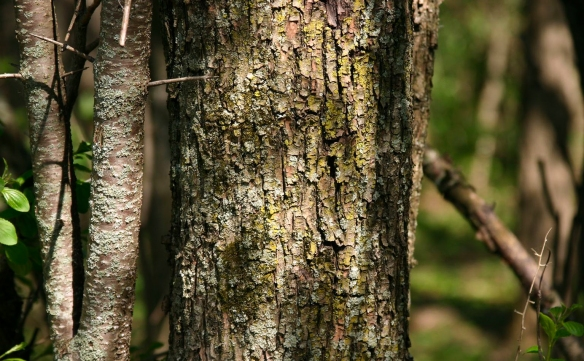The bark of buckthorn changes with age. Photo © Leslie J. Mehrhoff.