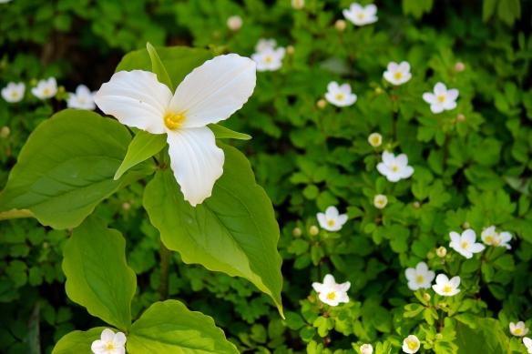 Buckthorn deprives native ephemeral wildflowers, such as large-flowered trillium (Trillium grandiflorum), of sunlight. Photo © Lake County Forest Preserves.