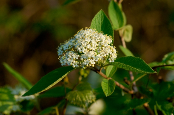 Nannyberry (Viburnum lentago) is just one species of native shrub you can plant to replace buckthorn. Stock image.