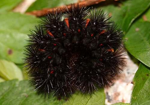 In its defensive posture, a giant leopard moth caterpillar displays its stiff setae and red inter-segments. Photo © Donald W. Hall.