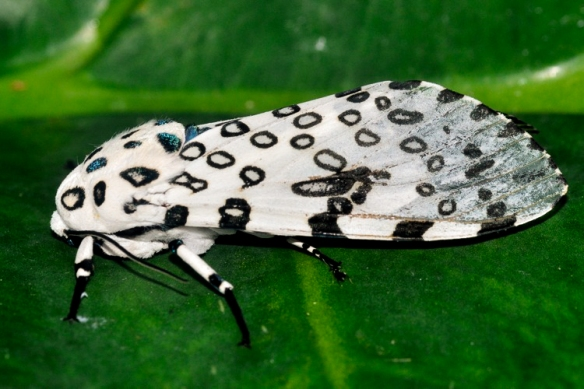 An adult giant leopard moth. Photo © Christopher J. Williams.
