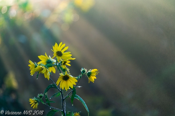 """Sunflowers and Sunbeams""—Photo © Vivienne NVS"