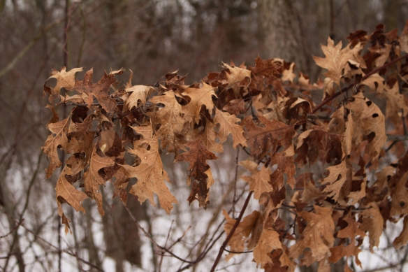 Freezing rain falls on the leaves of a pin oak (Quercus palustris). Photo © Lake County Forest Preserves.