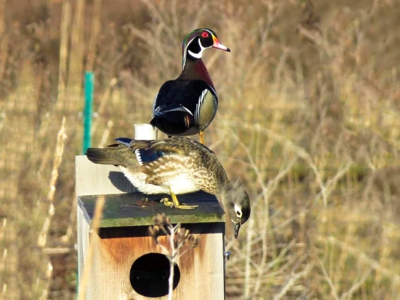 A female wood duck inspects a nest box while a male perches close by. Photo © Janis Stone.