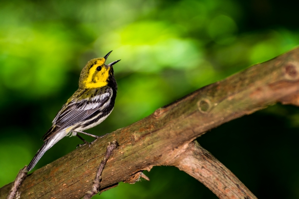 A black-throated green warbler sings on a branch. Stock photo © Lake County Forest Preserves.