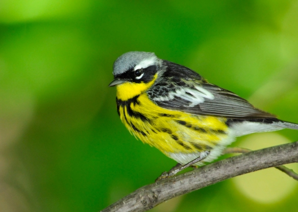 Look for the male magnolia warbler's distinctive black streak across its face. Photo © Randall Wade.