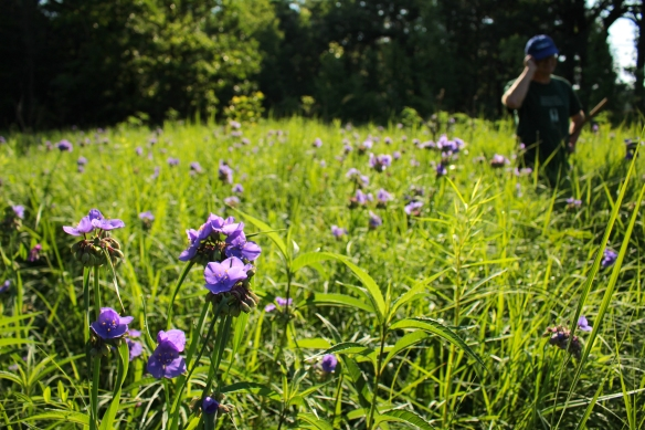 Ken stands in a field of spiderwort. Photo © Lake County Forest Preserves.