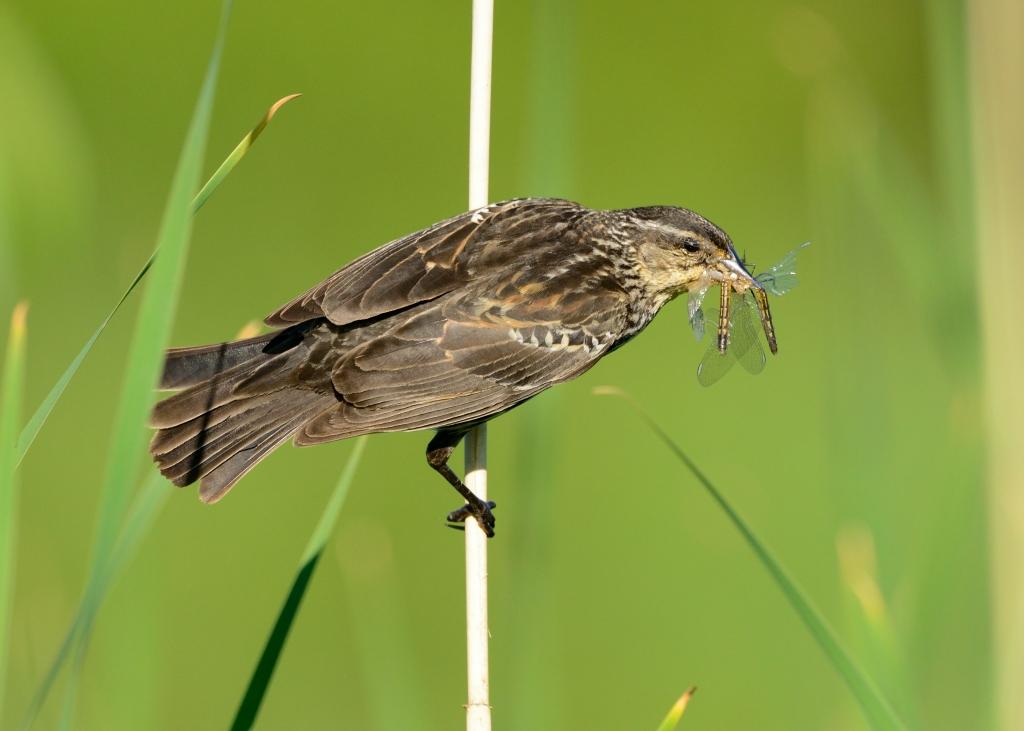 """Breakfast! Female red-winged blackbird (Agelaius phoeniceus)."" Photo © Phil Hauck."
