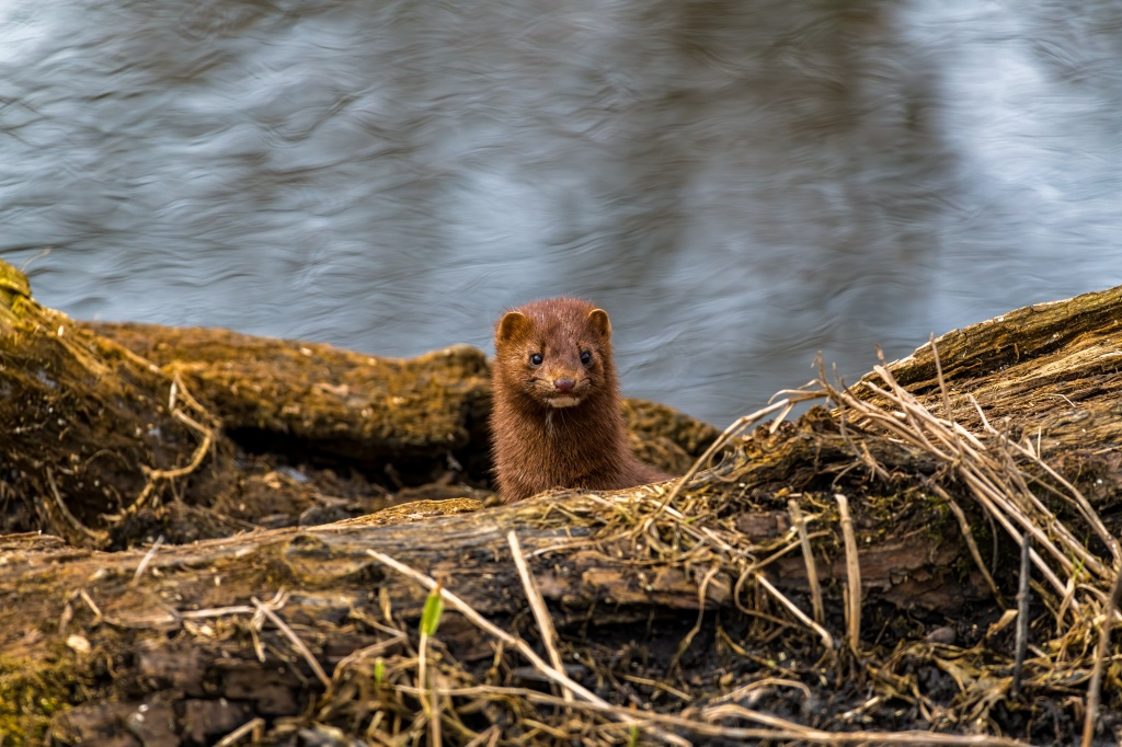 A mink (Neovison vison) peeks over a fallen tree. Photo © John D. Kavc.