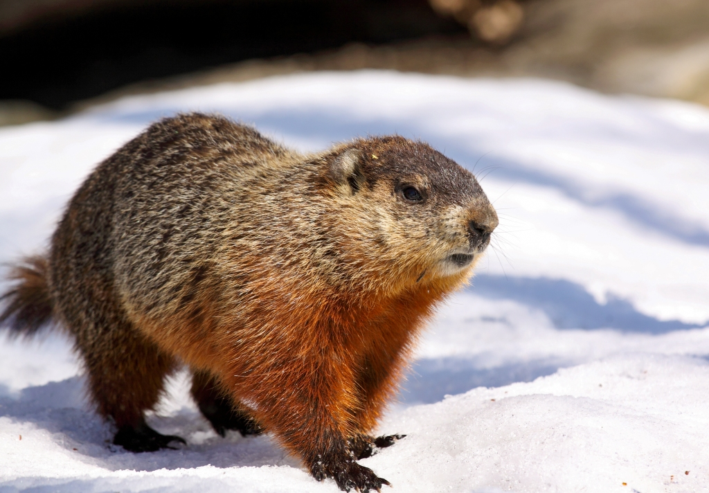 Groundhogs (Marmota monax) are active during daytime, particularly early morning and late afternoon. Stock photo.