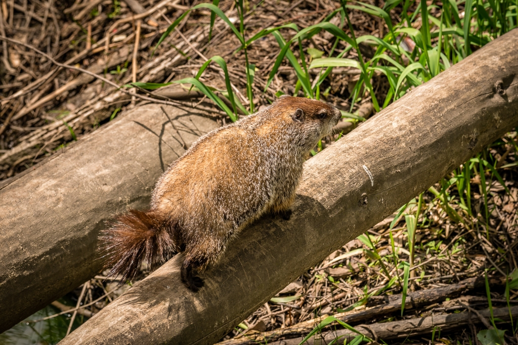 A groundhog walks across a fallen tree. Photo © Tim Elliott.