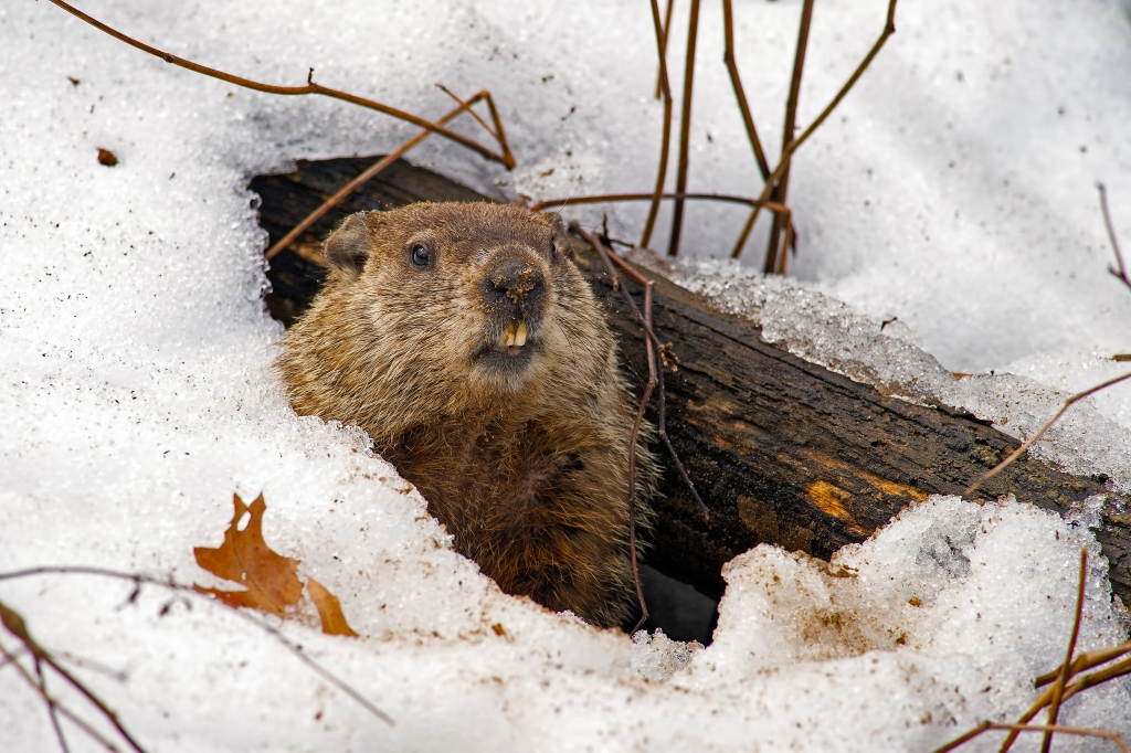 Male groundhogs emerge from their dens temporarily in early February, then reemerge in March to mate. Stock photo.