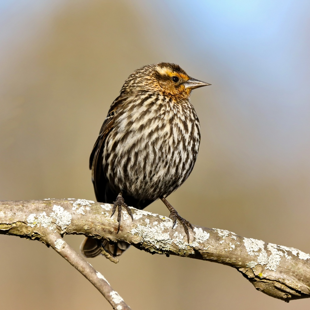 Female red-winged blackbirds look quite different from their male counterparts. Stock photo.