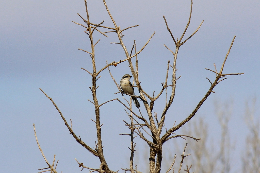 A northern shrike (Lanius borealis) perches in a tree. Photo © Lake County Forest Preserves.