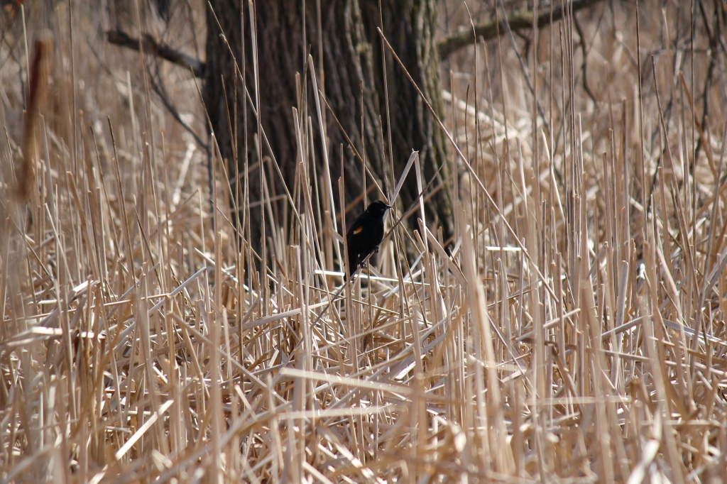 A red-winged blackbird perches in a wetland. Photo © Lake County Forest Preserves.