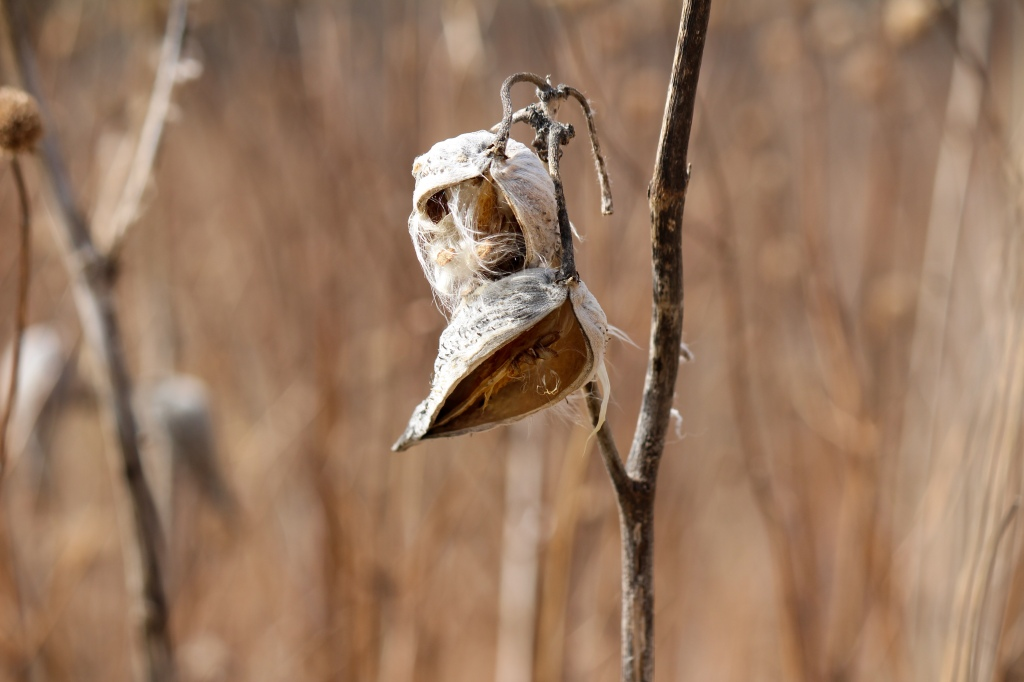 Milkweed seeds from last year hang onto their pods. Photo © Lake County Forest Preserves.