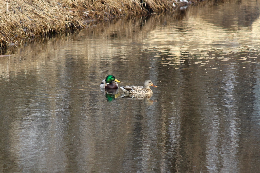 A pair of mallards bobs in Sequoit Creek. Photo © Lake County Forest Preserves.