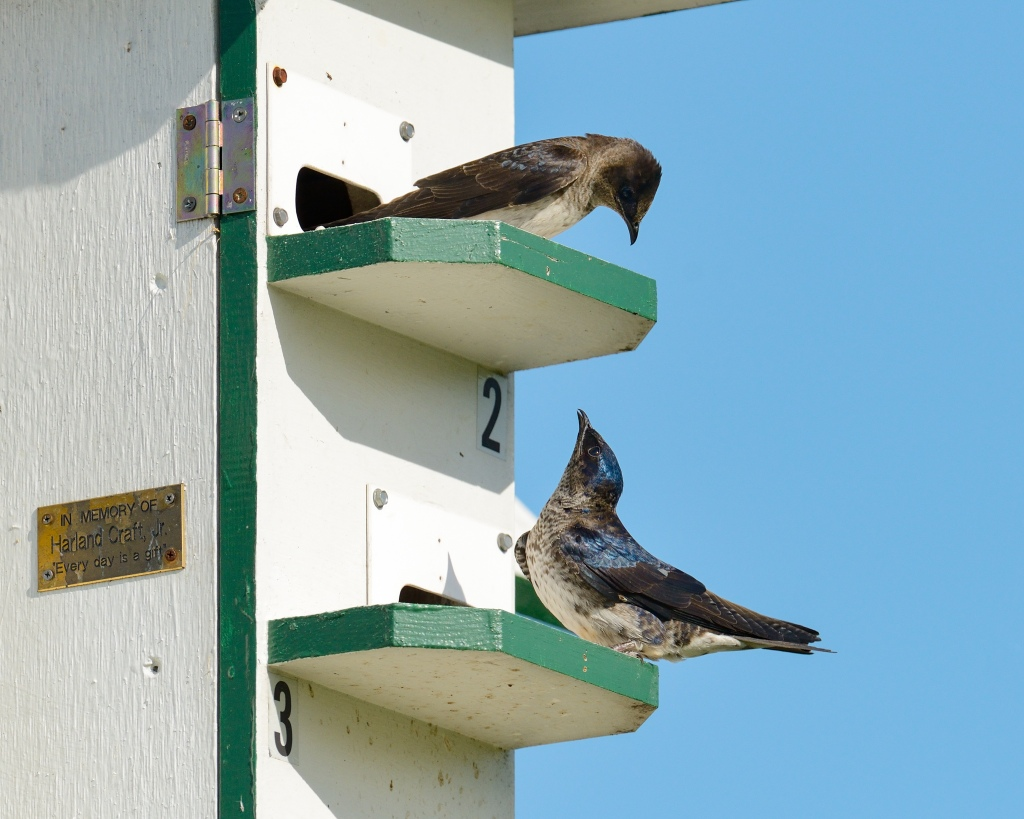 Two purple martins look at each other on the ledge of a martin house. Photo © Phil Hauck.