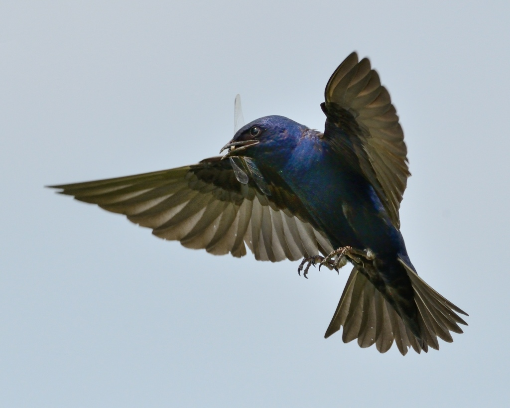 Among other prey, purple martins feast on dragonflies. Photo © Phil Hauck.