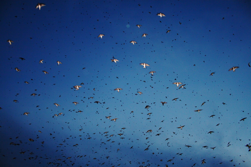 Purple martin roosts can contain hundreds or thousands of birds. Photo © Badbirdz Reloaded.