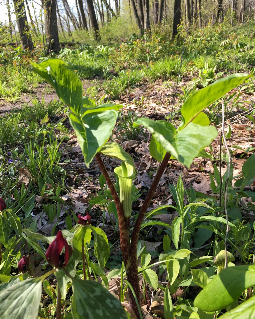 A female Jack-in-the-pulpit individual. Note the two, three-parted leaves. Photo © Lake County Forest Preserves.